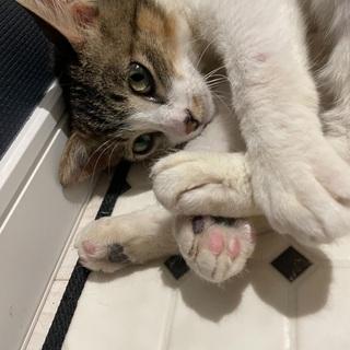 【幼猫サイズ】小柄な成猫