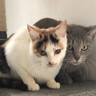 大人しい綺麗な三毛猫 − 愛知県