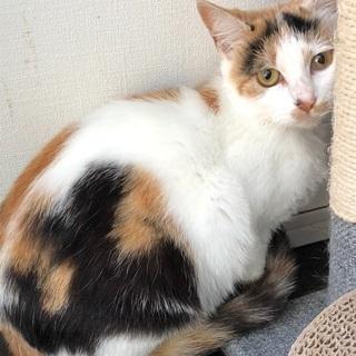 大人しい綺麗な三毛猫の画像