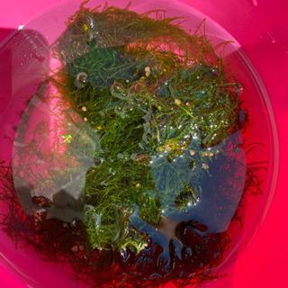 ウィローモス 安く分けます!  水草、熱帯魚