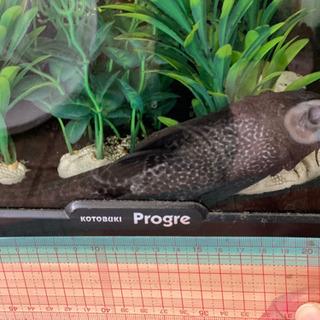 サッカープレコ 熱帯魚