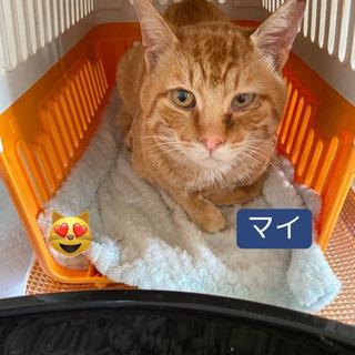 成猫の茶トラ(仮名:マイくん)里親募集中!