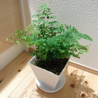 観葉植物 アジアンタム 43cm おしゃれな6号鉢と受け皿付き