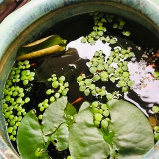 水草 アマゾンフロッグピット20〜30個 浮草 お届け価格