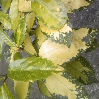 植物 斑入り青木、湖上の月、高さ約5~60センチ,赤い実も成ります。