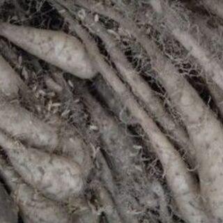 ジャガイモ・長芋の種芋