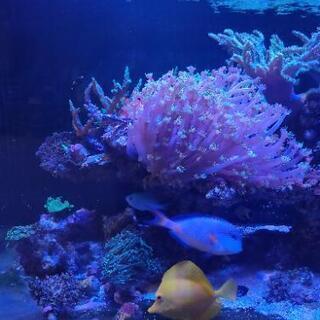海水魚生体 サンゴ