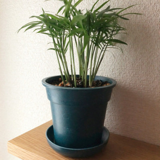 観葉植物 テーブルヤシ 21cm 3.5号の鉢と受け皿付き