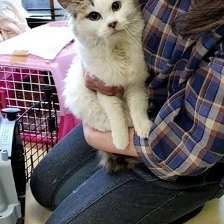 募集一時ストップしますのでご了承ください。生後推定10か月の洋猫ミックス女の子 - 猫