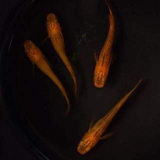 【ネット決済・配送可】メダカ 黒鱗 オレンジブラックリム 2ペア...