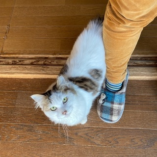 募集一時ストップしますのでご了承ください。生後推定10か月の洋猫ミックス女の子 − 埼玉県