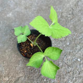 ミツバ 三つ葉 植物苗 ハーブ