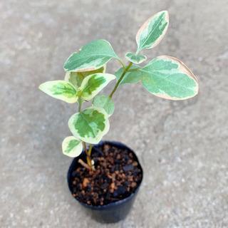 班入りツルキキョウ ツルニチニチソウ 観葉植物 グランドカバー 植物苗