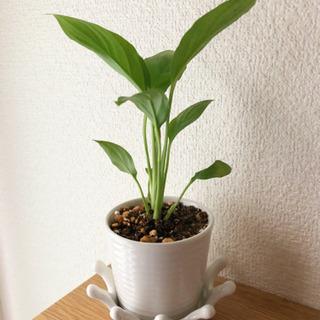 観葉植物 スパティフィラム ナチュラルキッチンの2号陶器の…