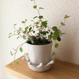 観葉植物 ワイヤープランツ ナチュラルキッチンの2号陶器の…