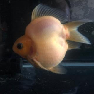 玉サバ、金魚
