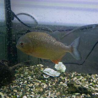 淡水魚 ピラニア プレコ 直接引き取りのみ 仙台市青葉区小…