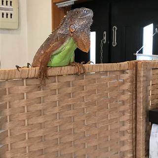 爬虫類 イグアナ