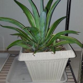 アガベ ベネズエラ 観葉植物