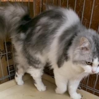 長毛のシログレーの猫さんです♪(募集一時停止) - 名古屋市