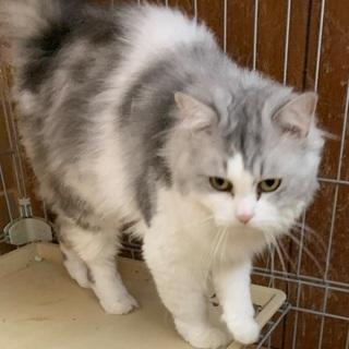 長毛のシログレーの猫さんです♪(募集一時停止) - 里親募集