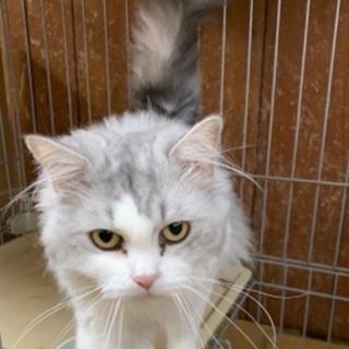 長毛のシログレーの猫さんです♪(募集一時停止) - 猫