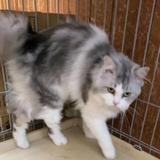 長毛のシログレーの猫さんです♪(募集一時停止) − 愛知県