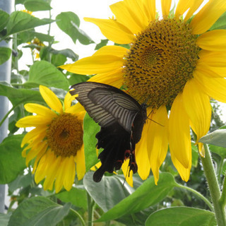 ひまわりの種 去年採取 約40g 250粒