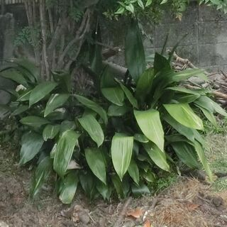 ハラン(葉蘭)【樹木・庭木・常緑・観葉植物】(野菜や芋との…