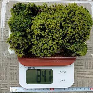 【ネット決済・配送可】天然の苔