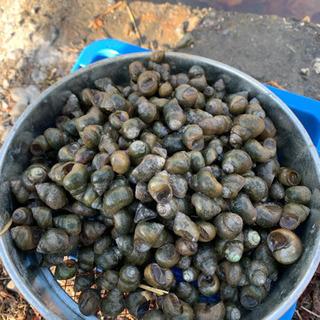 残り2セット。メダカの食べ残し餌のタニシ清掃員
