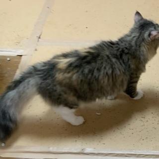 きれいな毛色の猫さんです♪(募集一時停止) - 里親募集