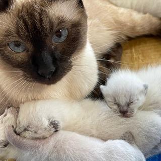 生後7日の仔猫   里親決定。感謝