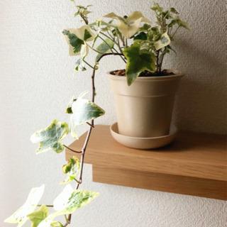 【ご成約済み】観葉植物 アイビー・ゴールデンチャイルド 3.5号...