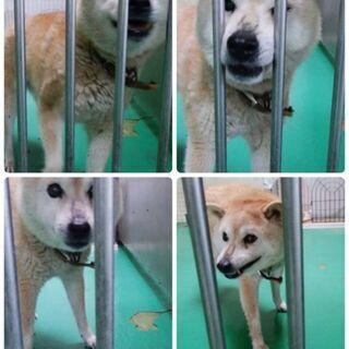 小柄な柴犬の女の子です 新しい家族を探しています − 長崎県