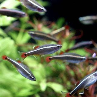 ヒーターがなくても飼える熱帯魚 アカヒレ
