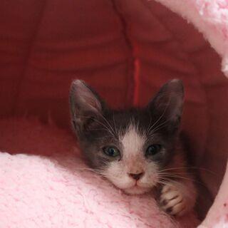 人懐っこく遊び大好きのグレーハチワレ - 猫