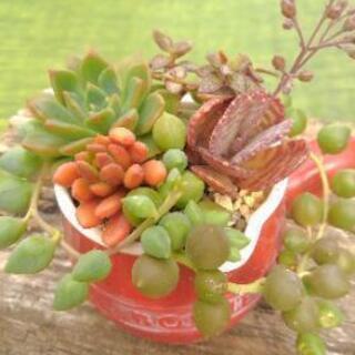 多肉植物 寄せ植 ドレッシング器赤