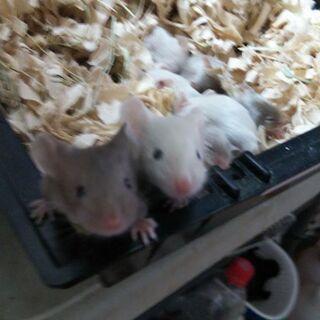 可愛いファンシーマウス、そろそろ離乳です。