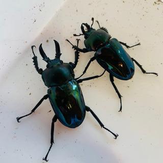 ニジイロクワガタ ブルーグリーン 幼虫