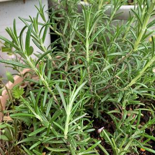 【ネット決済】【期間限定SALE】 ローズマリー 植物苗 ハーブ 人気