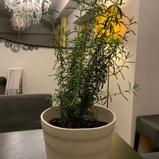 ローズマリー 観葉植物 プランター付の画像