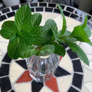 ミント ハーブ 観葉植物