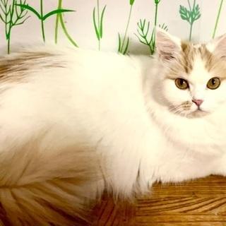 フサフサな毛並みの女の子♪ - 猫