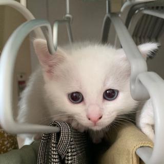 (トライアル中)2ヶ月のマンチカンMIXの子猫