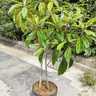 大人気の果樹・びわの木✨ 大切に育ててくださる方、超お値打…