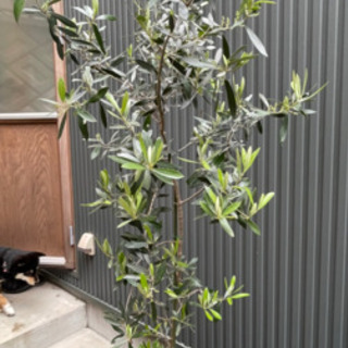 【ネット決済】オリーブの木①