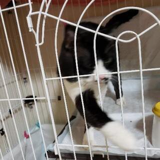 【里親募集】おす猫 13歳 老猫 たまに夜鳴き有 専用フード必須 − 北海道