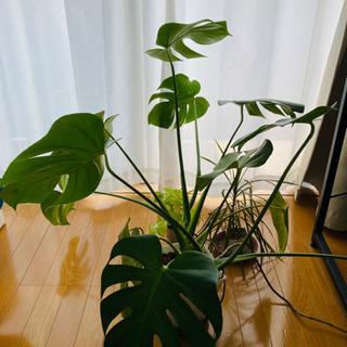 モンステラ他 観葉植物3点セット 鉢・土・スコップ付き