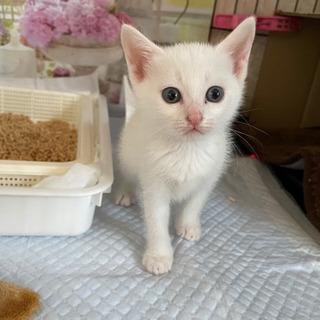 募集一時停止します。真っ白子猫のこめちゃん